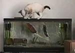 تلاش ناکام گربه برای شکار ماهی