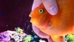 ماساژ دادن و نوازش کردن طوطی ماهی