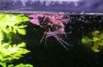پروانه ماهی آفریقایی