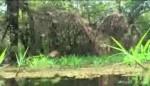 دیسکاس وحشی در طبیعت