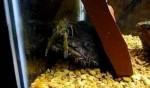 شکار خرچنگ توسط سنگ ماهی آب شیرین