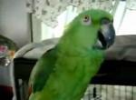 طوطی آمازون خواننده