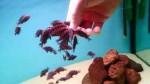 تغذیه دستی دوبویسی های جوان