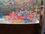 طوطی ماهی های رنگ شده