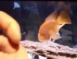 طوطی ماهی دستی و دوست داشتنی