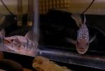 جنگ جگوار با گرگ ماهی