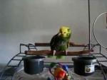 تقلید صدای گریه کودک توسط طوطی آمازون