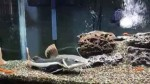 تغذیه کردن ردتیل با تعدادی گلدفیش