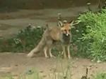 روباه های من