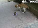 سرگرم کردن گربه با ماشین کنترلی!!!