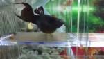 زایمان ماهی مولی