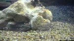 شکار ماهی زنده توسط گرگ ماهی و گار