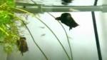 برگ ماهی