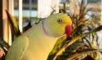 تصاویر ملنگو زرد