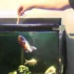 پرش دیدنی ماهی اسکار برای غذا