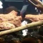 خورده شدن مارمولک توسط ماهی ها