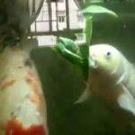 خوردن کاهو توسط کوی فیش