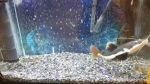 خورده شدن سیچیلاید تگزاس توسط گربه ماهی ردتیل !