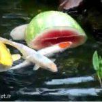 هندوانه خوردن کوی فیش