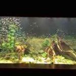 شنای دسته جمعی هزاران ماهی تترا در آکواریوم