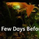 از بارداری تا زایمان ماهی گوپی