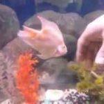 طوطی ماهی دستی