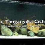 آکواریوم جمعی سیکلیدهای دریاچه تانگانیا