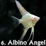 انواع گونه های ماهی آنجل