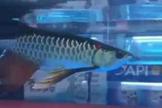 ماهی اروانا سبز باله بلند