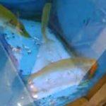 تغذیه اردک ماهی با گلدفیش