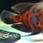 تخم ریزی ماهی اسکار