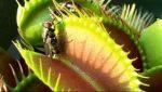شکار مگس توسط گیاه ونوس