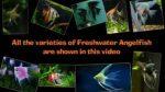 نژادهای مختلف ماهی آنجل
