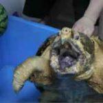تکه کردن هندوانه توسط لاکپشت
