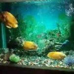 آکواریوم و ماهی های اسکار