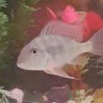 ماهی پروکسیموس