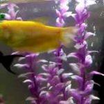 آکواریومMAHDI Z  ماهیان گیاه خوار