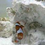 تخم گذاری زیبای دلقک ماهی