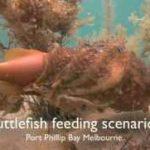 شکار ماهی های زنده توسط سِپیداج