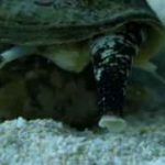 شکار ماهی توسط حلزون مخروطی