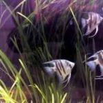 آنجل بلوزبرا blue zebra