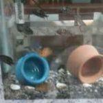 ماهی سیچلاید گورخری