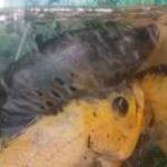 تغذیه ماهی پنگوسی و کت چوبی